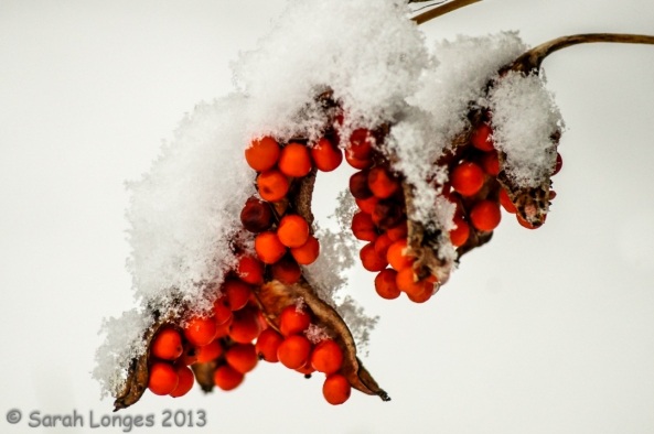 Scarlet Splash on Snow