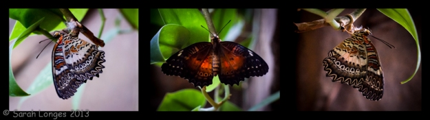 Malay Lacewing Triptych