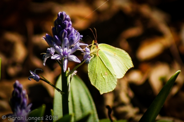 Female Brimstone
