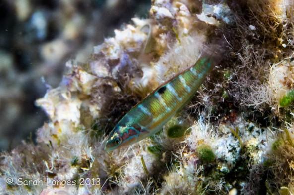 Iridescent Fish