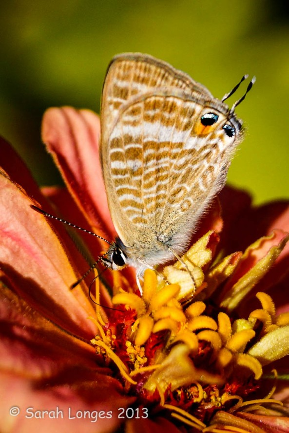 Lang's Short-tailed Blue Butterfly