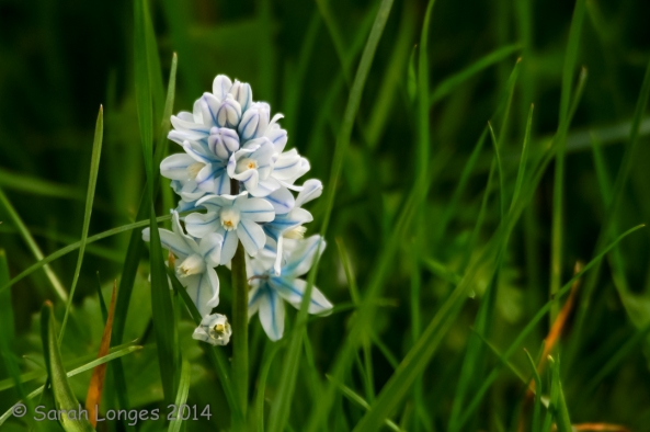 Blue Monday: Little Hyacinth