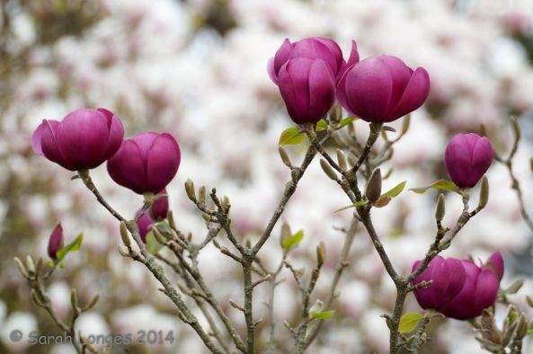 Wordless Wednesday: Magnolias