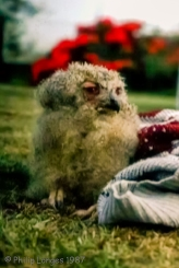 Sammy the Bengal Owlet