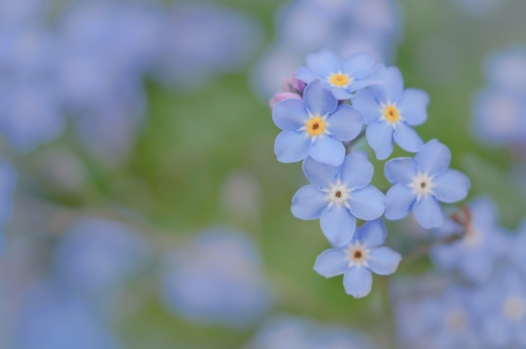 Blue Monday: Forget-Me-Not