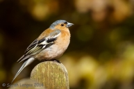 Chaffinch looking for food at the Wisley cafe