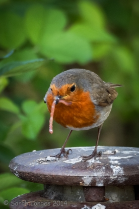 Robin with worm at RHS Wisley