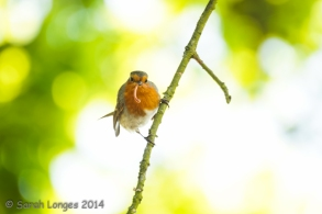 Robin returning to the nest