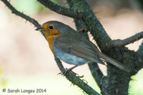 Another Wisley robin with some grubs