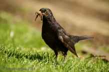 Blackbird with a beakful of worms