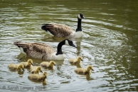 Canada Geese family at Mote Park