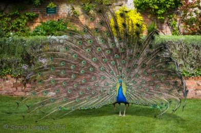 Peacock welcoming us into The Walled Garden