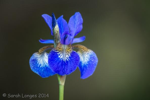 Blue Monday: Blue Iris