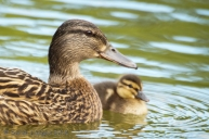 Mallard with her young duckling