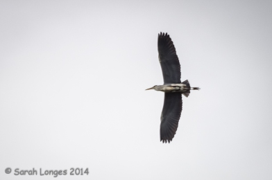 The heron flies above the lakes