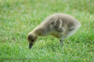 Gosling foraging for food
