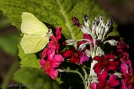 Brimstone butterfly on primrose