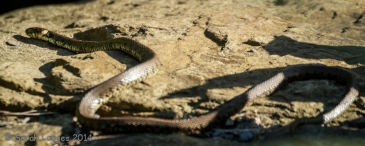 The grass snake is out sunning herself