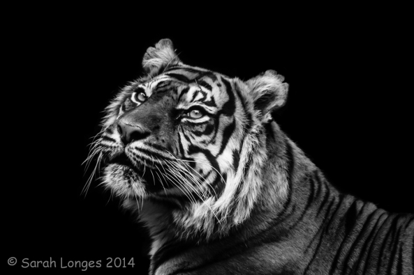 Monochrome Madness: Tiger