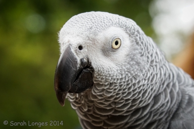 Congo African Grey has a dark beak