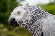 The Congo has light grey plumage