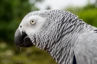 The Congo has light grey plumage
