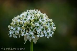 Allium colour