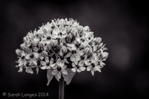 Allium monochrome