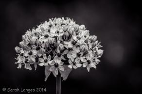 Allium monochrome