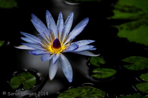 Blue Monday: Blue Lotus
