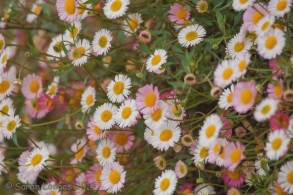 Daisies colour