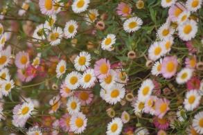 Daisies colour