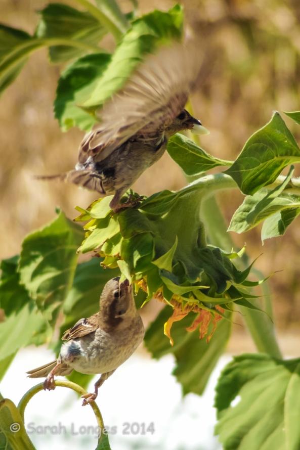 Sparrows feeding on sunflowers