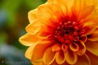 Orange Dahlia