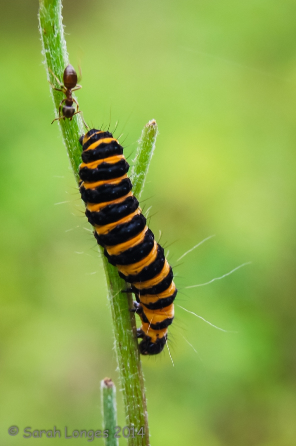 Ant vs Caterpillar