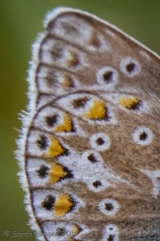 Common Blue Butterfly Wing