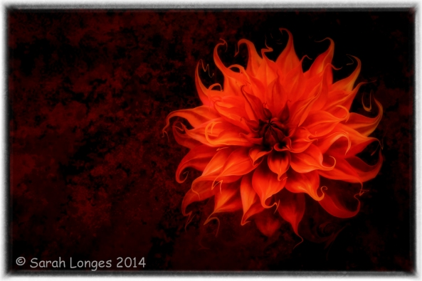 Flame Dahlia