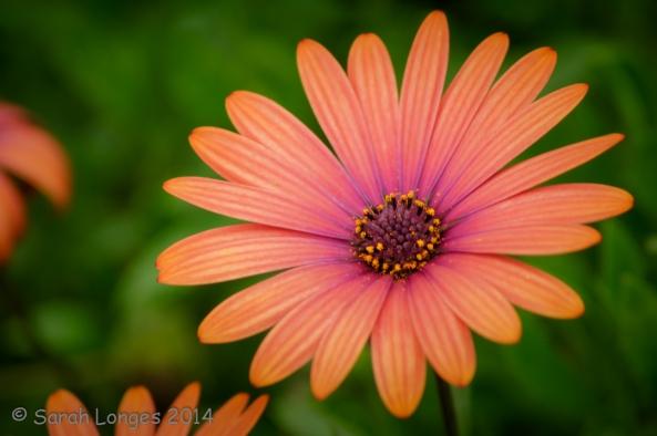 Bold Daisy
