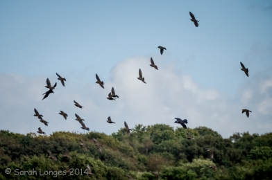Starlings and crows in flight