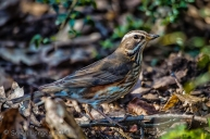 Wildlife in the Garden: Redwing