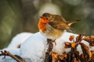 Wildlife in the Garden: Winter Robin