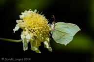 Wildlife in the Garden: Brimstone