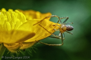 Wildlife in the Garden: Spider on a Buttercup