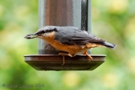 Wildlife in the Garden: Nuthatch at the Feeder