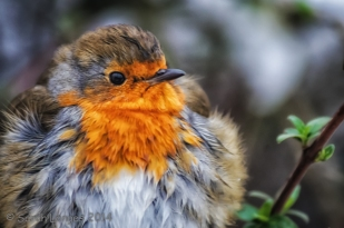 Round Robin close-up