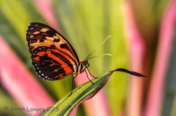 Harmonia Tiger