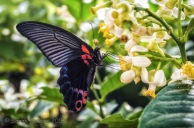 Papilio memnon or Great Mormon