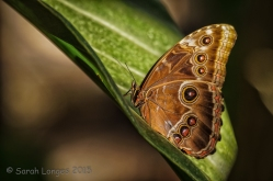 The underside of the Blue Morpho's wings