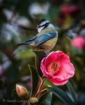 Blue Tit on Camellia