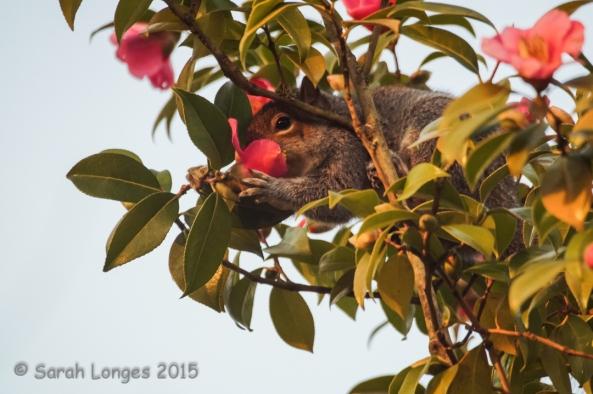 Squirrel on Camellia